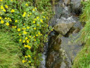 Mimulus by the Stream