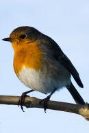 Robin watching