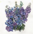 Delphiniums with ink