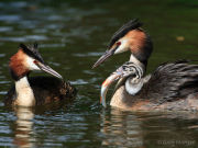 Great crested grebe with chick on back 1