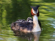 Great crested grebe with chicks on back 3