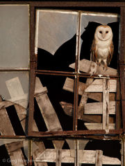 Barn owl perched in window frame 1