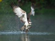 Osprey with fish 1
