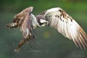 Osprey with fish closeup 2