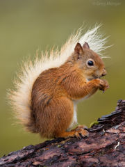 Red squirrel portrait 2