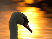 Sunset swan portrait