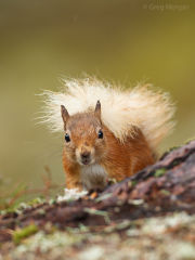 Red squirrel portrait 1