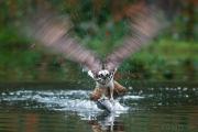 Osprey with fish motion blur 1