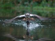 Osprey with fish motion blur 2