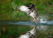 Osprey with fish reflection 2