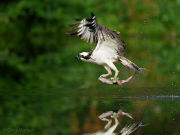 Osprey with fish reflection