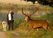 Red deer stag facing woman with dog