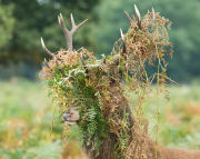 Red deer stag with bracken in antlers