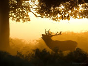 Roaring stag silhouette with sun shining through mist