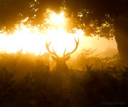 Stag silhouette head-on in forest