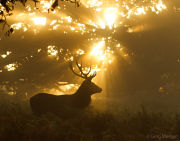 Stag silhouette with sun beams