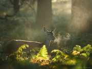Red deer hind in shaft of sunlight