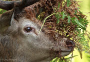 Red deer stag with face covered by bracken, profile