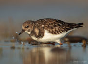 Turnstone splash