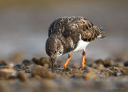 Turnstone portrait 2