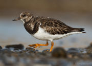 Turnstone portrait 3