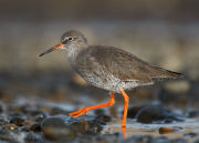 Redshank close-up