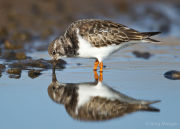 Turnstone reflection