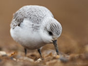 Sanderling close-up
