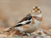 Snow bunting head-on