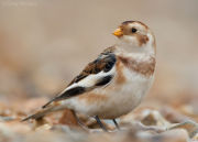 Snow bunting in profile