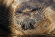 Grey seal whiskers