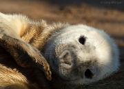 Grey seal pup portrait 2