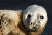Grey seal pup portrait 1