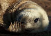Grey seal pup close-up
