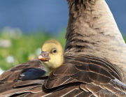 Greylag gosling under parent's wing