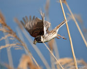 Reed bunting (male) take-off