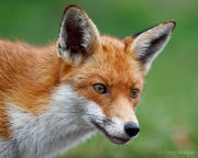 Fox portrait 4
