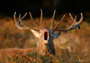 Red deer stag roaring head-on