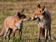 Fox mother and cub
