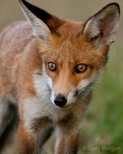 Fox cub close-up