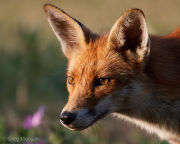 Fox portrait 3