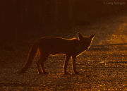 Backlit fox 1