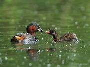 Little grebe feeding chick 1