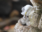 Kittiwake feeding chick