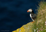 Puffin on cliff ledge