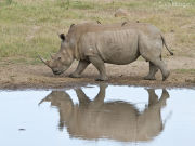 White rhino reflection