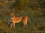 Lioness in afternoon sun