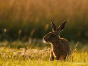 Backlit brown hare
