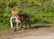 Fox carrying dead eel