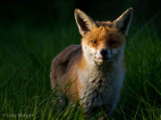Fox in the long grass